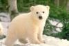 Ocean reserve: Polar Bear Love