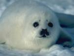 Neige - Seal (1 year)