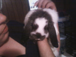 Prince - Male Average rabbit (1 year)