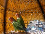 Agapornis - Bird