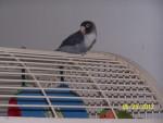 Cheeky - Male Bird (8 months)