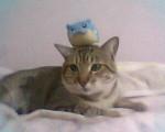 joel - Male Cat (2 years)