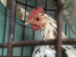 DALMATA - Chicken (1 year)