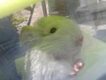 Peter - Male Chinchilla (1 year)