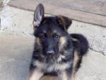 Nox - Male Dog