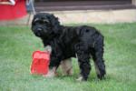 Nico - Dog