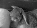 Schlappi - Dwarf rabbit (2 years)