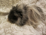 Hecil - Male Guinea pig (6 months)