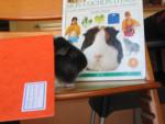 bijoux - Guinea pig (1 year)