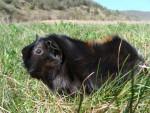 GUIZMO (décédé) - Male Guinea pig
