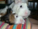 CUQUY Y BRANDI - Guinea pig (11 months)