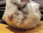 Noah - Guinea pig (2 months)