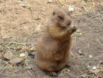 chien de prairie - Marmot