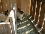 Caché Coucou avec mes lapinous - Male Rabbit (Other)