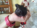minnie - Rough coated Guinea pig (2 months)