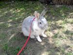 Mausi - Male Small rabbit (3 years)