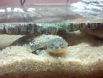 Ma maîtresse c'est bien gwen elle ment pas - Male Turtle (1 year)