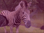 Zebre - Zebra (10 years)